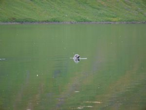 Seehund / Robbe im Fjord
