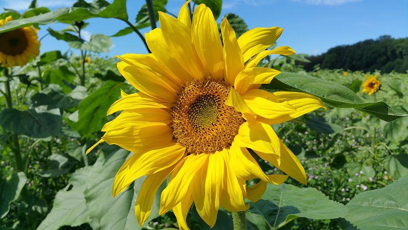 Sonnenblumenfeld auf der Albhochfläche